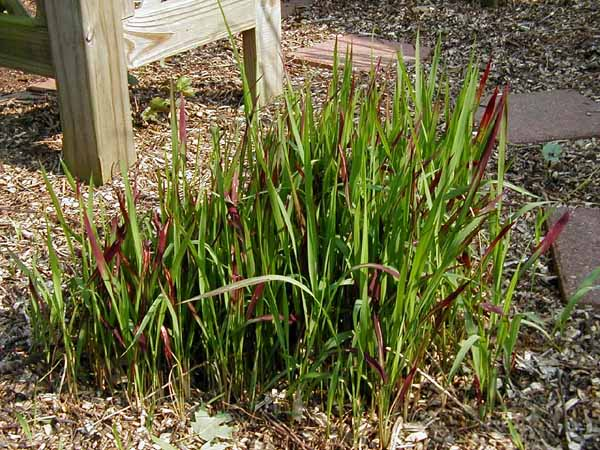 Japanese Blood Grass