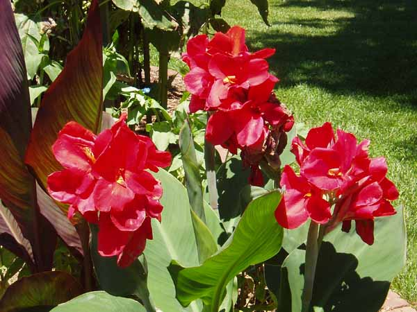 Red Cannas