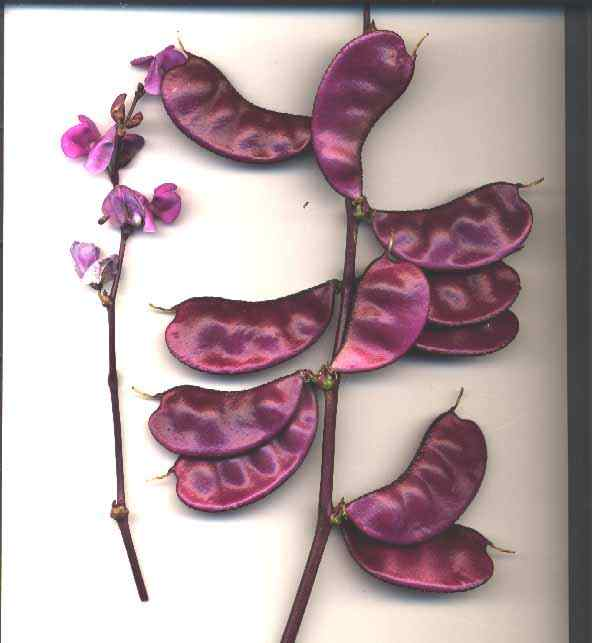 closeup of purple bean pods
