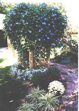 morning glory full bloom