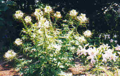 Cleome-spider flower and lilies