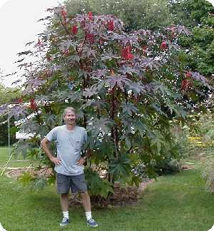 Dan and the giant castor bean!