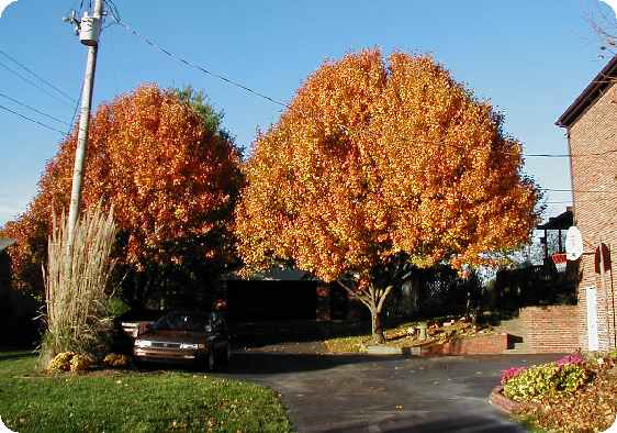 Bradford pear in Fall orange!